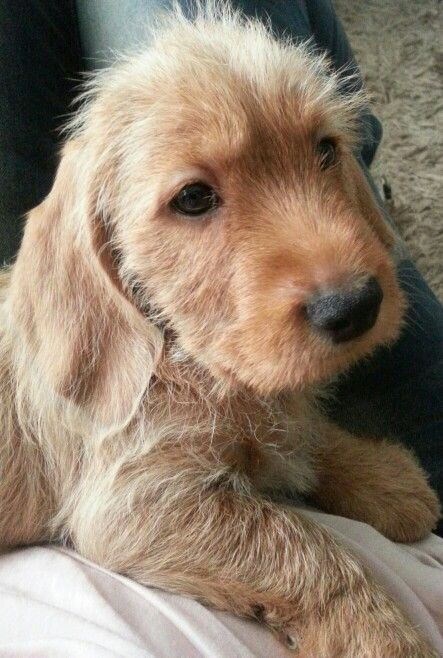 8 Weekjes Cute Dogs Cute Puppies Wire Haired Dachshund