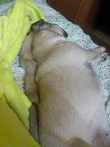 Kulka the Pug: she could really use a firming body lotion or a massage... ;)