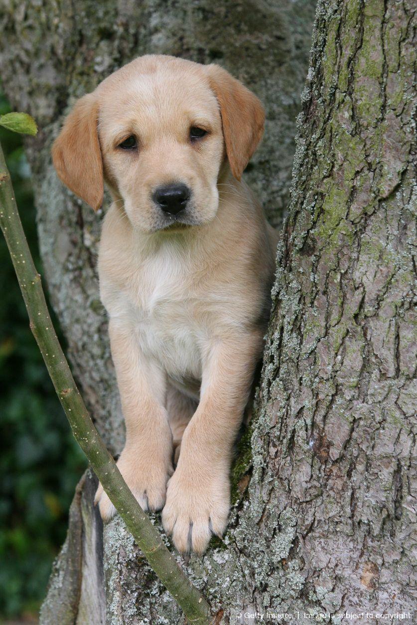 Labrador Puppy In Tree Dog Love Dogs Labrador Retriever Puppies