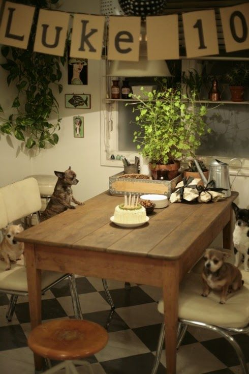 Chihuahuas. Diagnoosi:sisustusmania