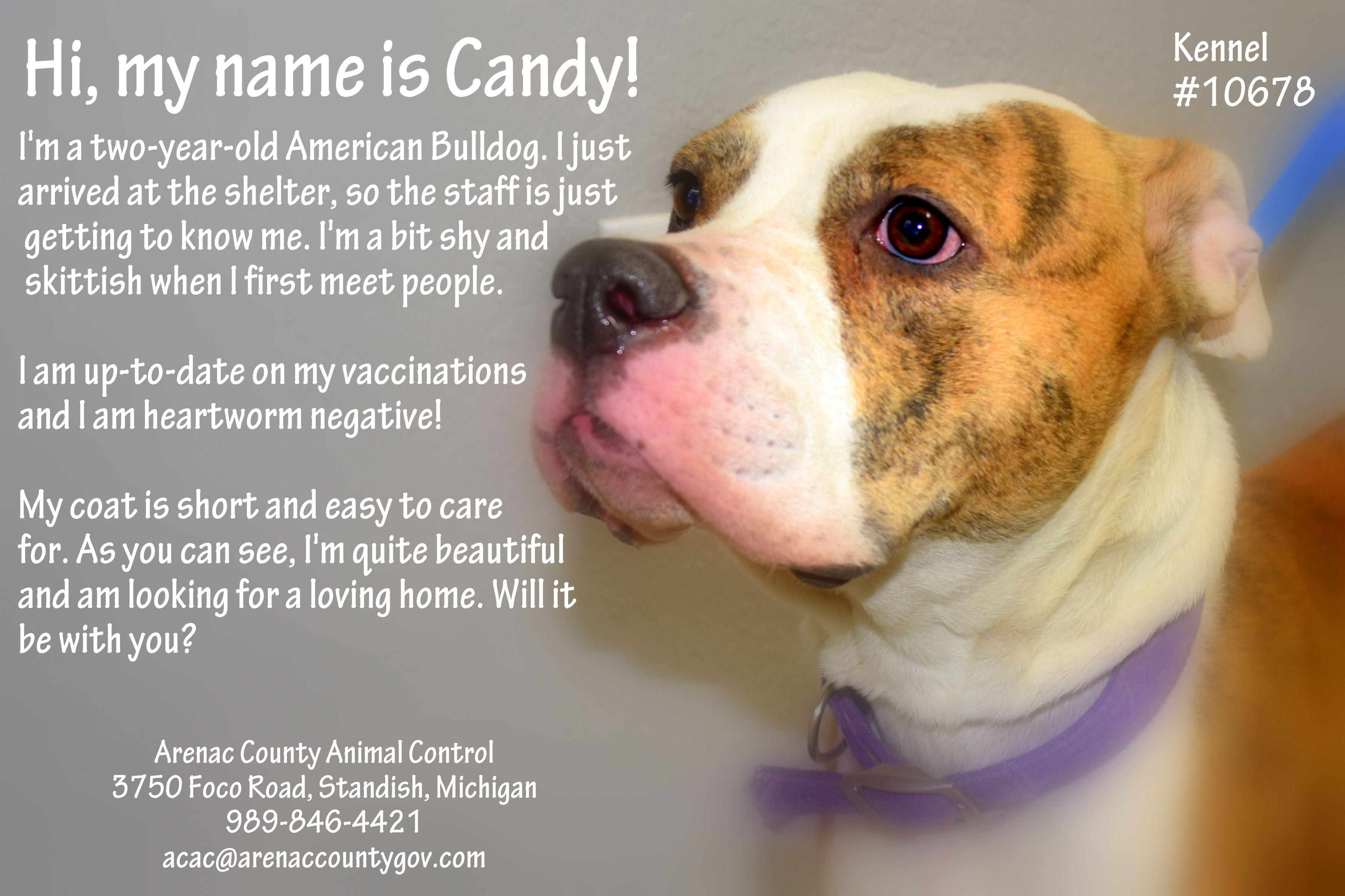 American Bulldog Dog For Adoption In Standish Mi Adn 736193 On