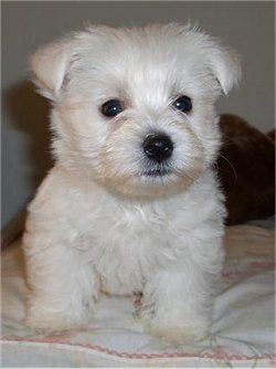I Am So Getting One Of These Westie Puppies Westie Dogs Puppies