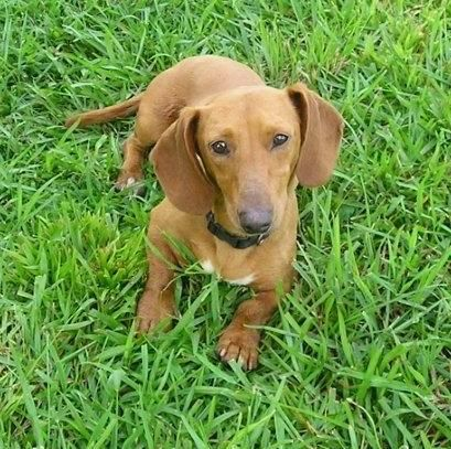 Meet Tommy a Petfinder adoptable Dachshund Dog | Atlanta, GA | I am settling in nicely at my foster mom's house. She says I'm a love...but very playful! I love my...