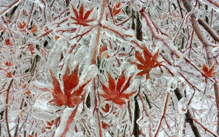 Un árbol luego de una tormenta de hielo en Toronto, Canada