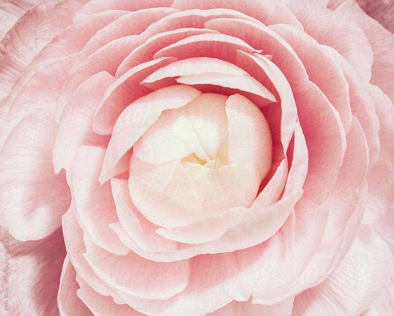 Closeup Of Pink Ranunculus Flower In Bloom By Kelli Kim Flowers Bloom Ranunculus