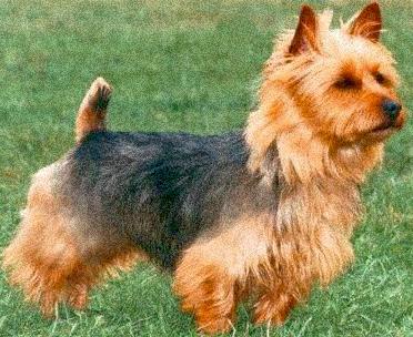 Australian Terrier Dog breeds, Australian terrier