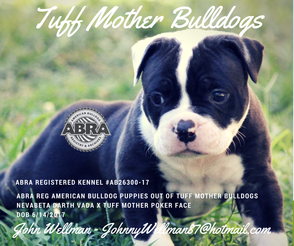 Congrats Johnny And Thanks For Choosing The Abra Tuff Mother Bulldogs Abra Ab26300 17 Nevabeta Dart American Bulldog Puppies Bulldog Puppies American Bulldog