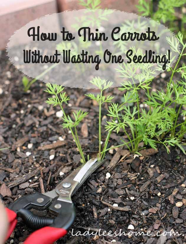 how to thin carrots without wasting one seedling couple