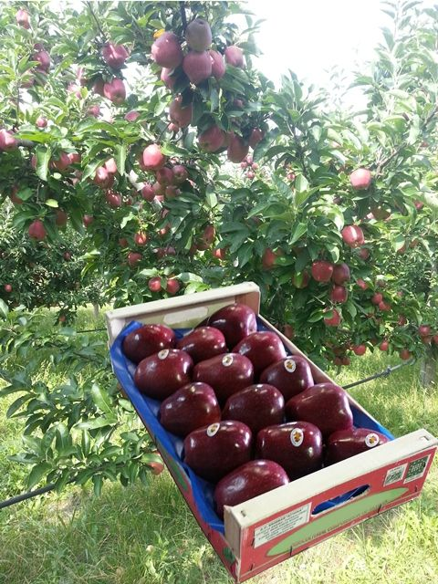 Apples Red Chief From Greec 3 5 4 Kg One Row Frutas Alfas
