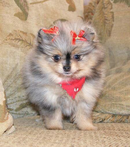 Pin By Cj Shawn B On Christmas Dog Breeder Pomeranian Dog Pomeranian Puppy Teacup