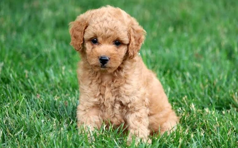 Puppy Finder Find Buy A Dog Today By Using Our Petfinder Goldendoodle Puppy Mini Goldendoodle Puppies Goldendoodle Puppy For Sale