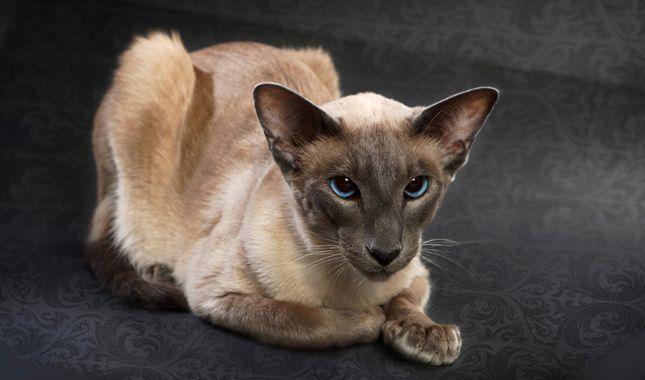 Balinese Cat Breed Information Balinese Cat Cat Breeds Rare Cats