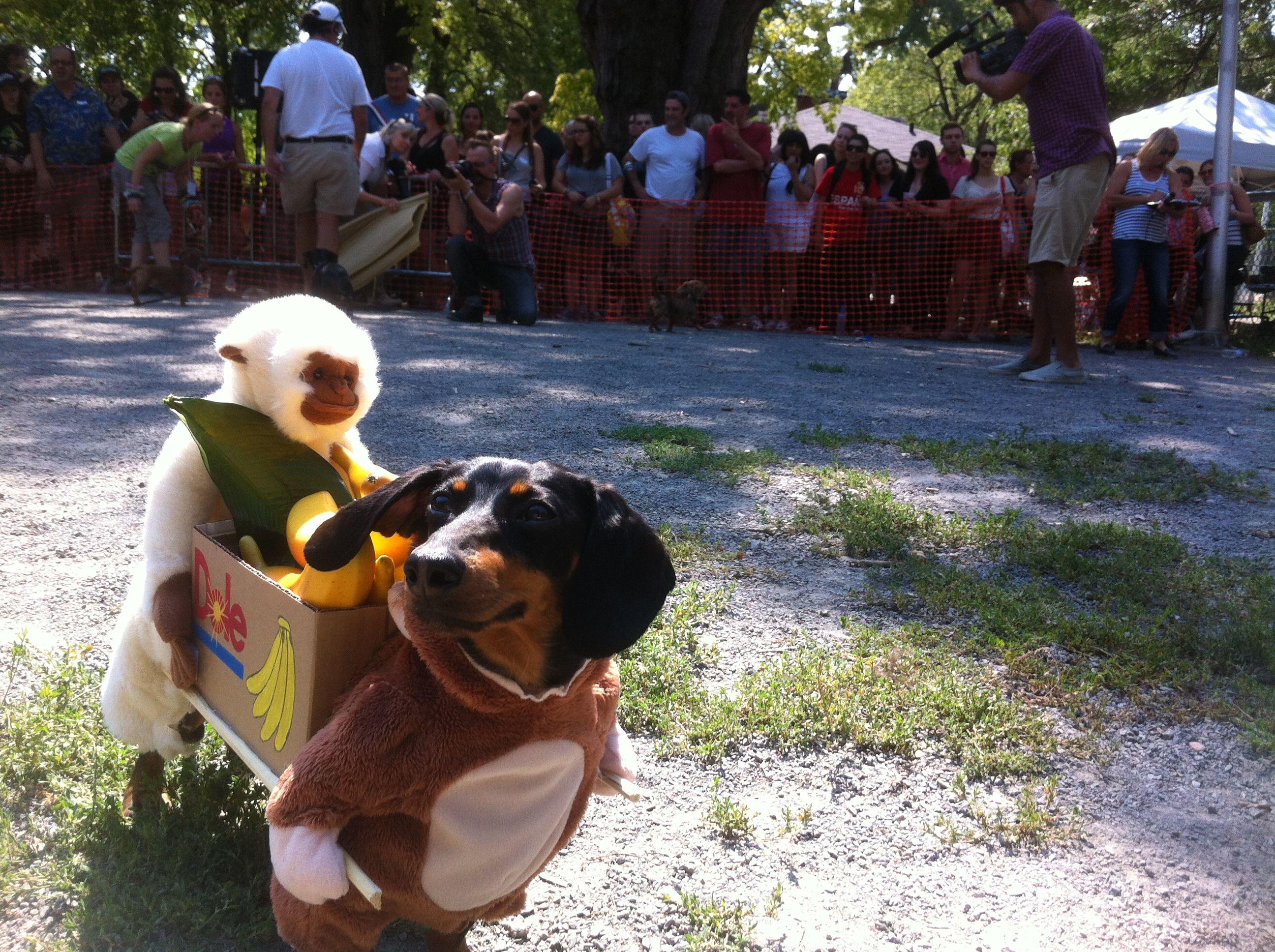 The Annual Wiener Dog Race Crusoe The Celebrity Dachshund