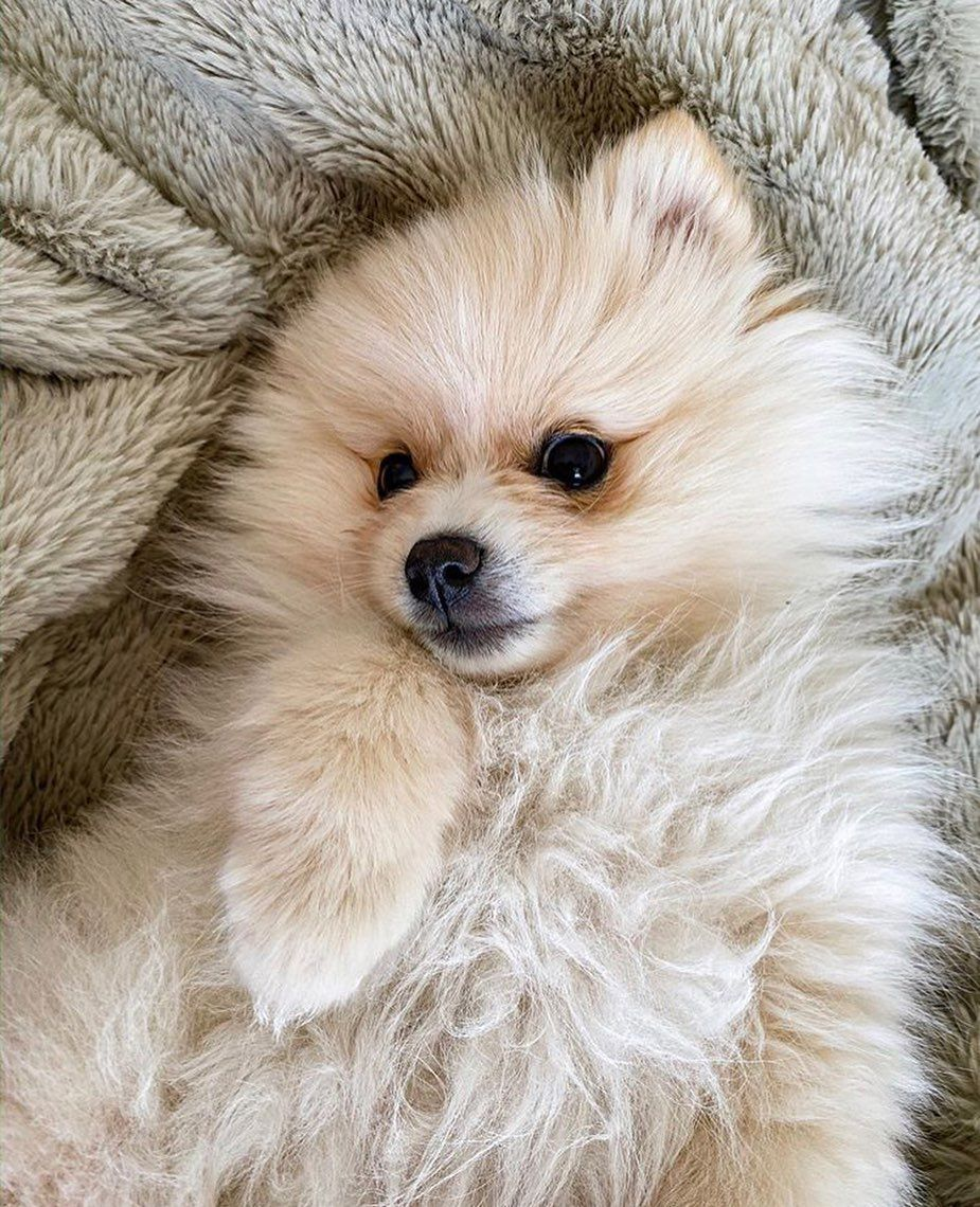 Plus Beau Chien Du Monde : chien, monde, Spitz, Chien, Monde, Beaux, Chiens,, Chien,