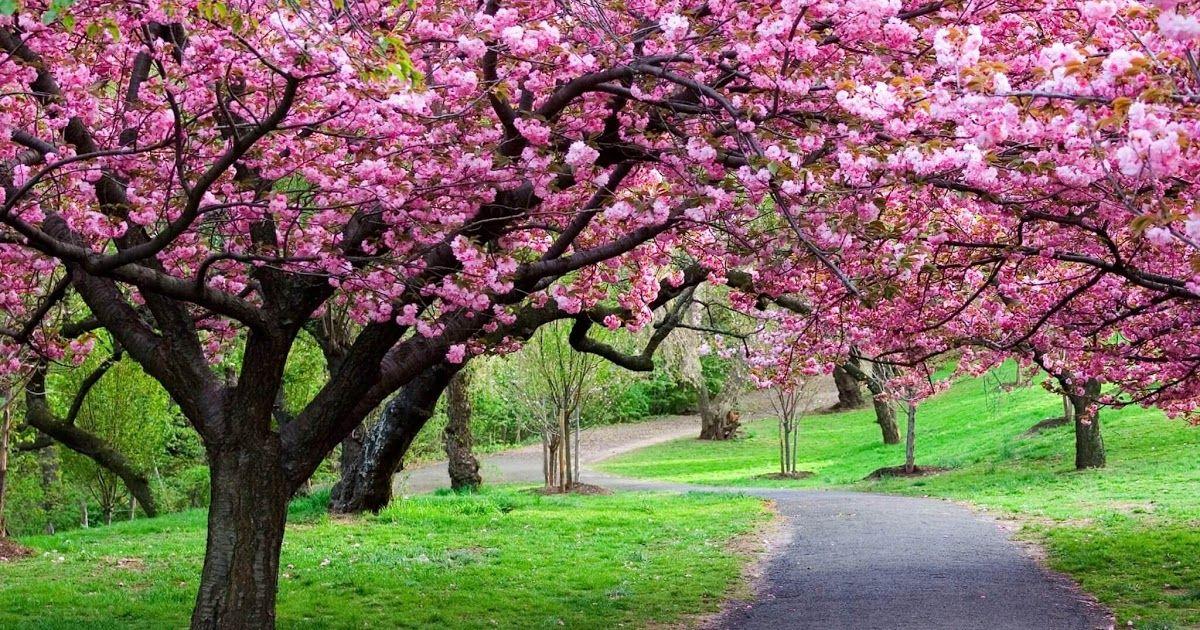 Foto Pemandangan Bunga Indah Indah Banget Ini 5 Taman Bunga Paling Cantik Di Indonesia Airy Download Gambar Peman Di 2020 Bunga Sakura Pemandangan Latar Belakang