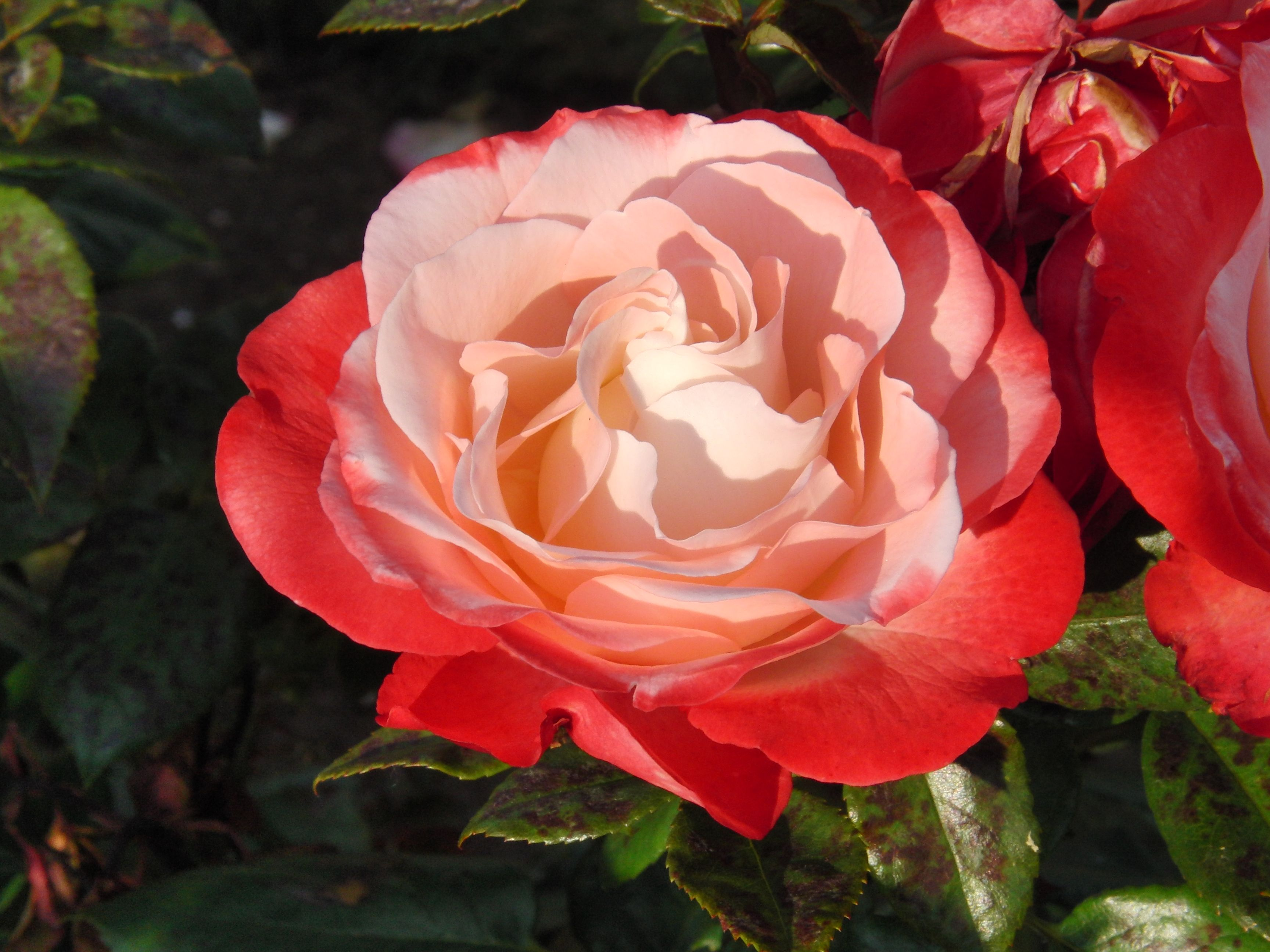 Nostalgia Rose Queen Mary S Gardens London Uk With Images