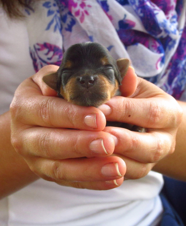 Bb yorkshire terriers newborn yorkie puppy wwwbbyorkies