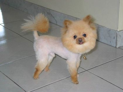 pomeranian with no hair poor pomeranian lol sweetie our yorkie dog haircuts 4421