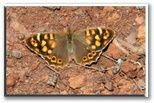 Nymphalidae of Spain. Ninfálidos de España. Fotos. Photos. Lepidoptera (Felipe Gil-T.)