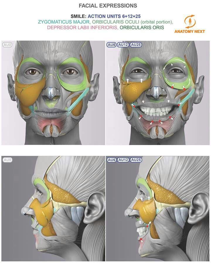 Anatomy Next | Kinesiologie | Pinterest | Figuren zeichnen, Mimik ...