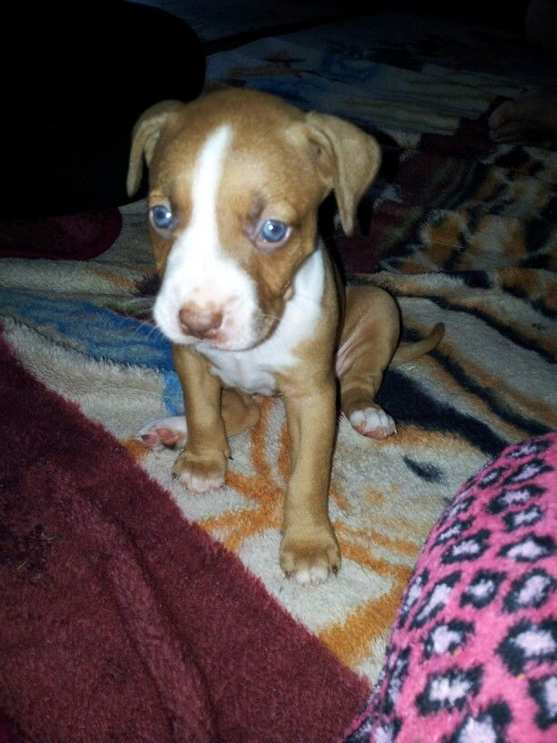 1 Month Old Pitbull Baby Nala With Images Pitbulls 1 Month
