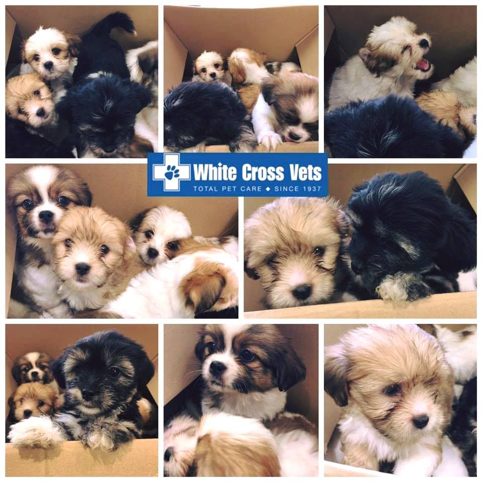 How Many Puppies Can You Fit In One Box We Had 7 Adorable Lhasa