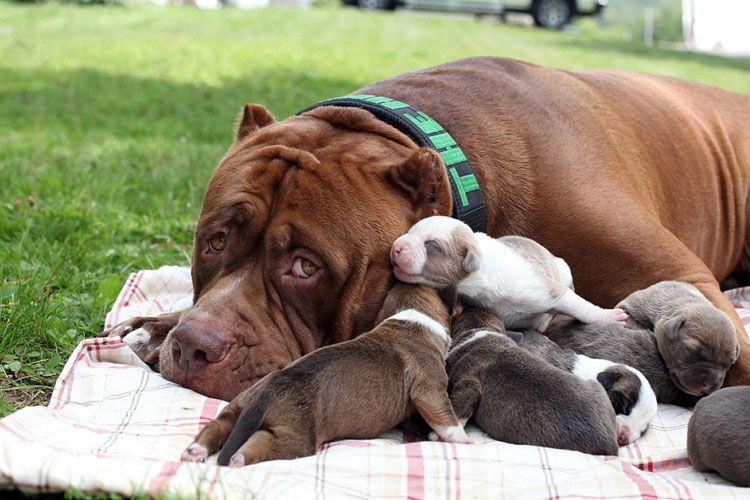 cute pitbull puppies Google Search Pitbulls, Animal