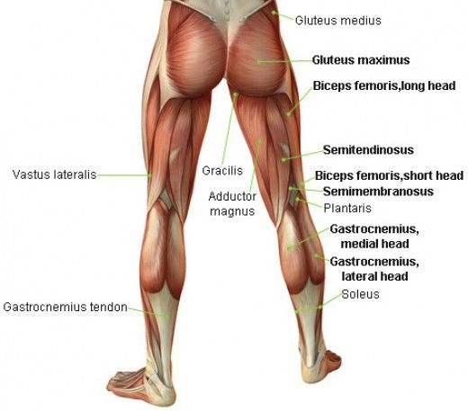 The Leg Bicep Muscle: Developing the Hamstrings   More Bicep ...