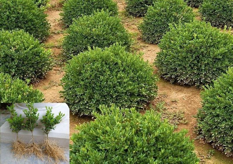 Fertilizer For Green Velvet Boxwood | Cromalinsupport