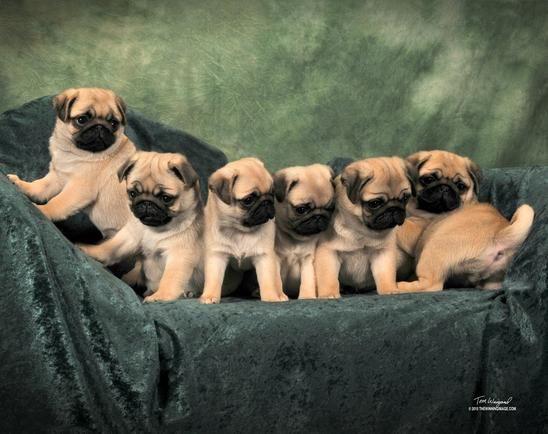 Kelz Pugz Pug Puppies For Sale Pug Stud Service Black Pug