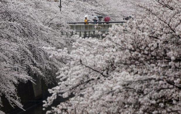 La espectacularidad de los cerezos en flor en un parque junto al río Meguro, Tokyo, Japón (Shizuo Kambayashi, 2017)