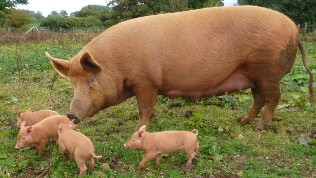 Tamworth Pigs Rugged Self Reliant Bacon Producers