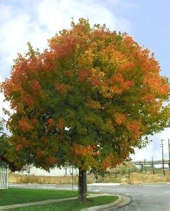 Common Name Sensation Maple Scientific Name Acer Negundo