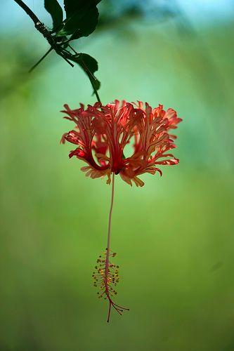 Red Hibiscus in Thai Jungle