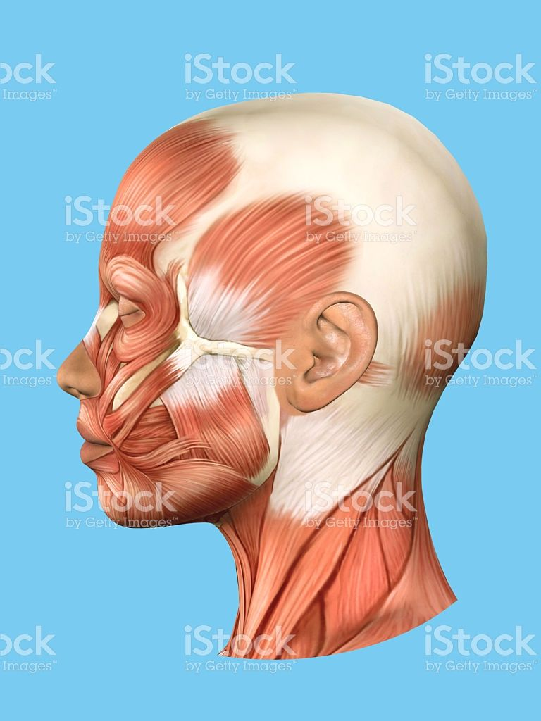 hight resolution of anatomy side view of major face muscles of a woman including in diagram of side of face