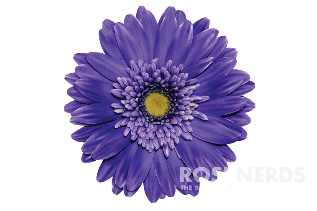 Wholesale Purple Color Enhanced Gerbera Daisies With Images