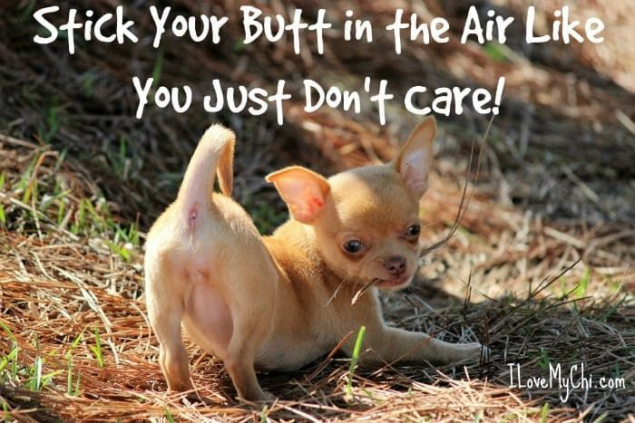 Doctors Diagnosis Applehead Syndrome Chihuahua Meme Generator