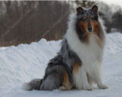 Wm Blue Merle Male Rough Collie Gryffin 01 30 11 14 Rough Collie