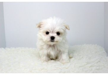 Pin By Ryka On Doggies With Images Puppies Yorkie Puppy For Sale Yorkie Puppy