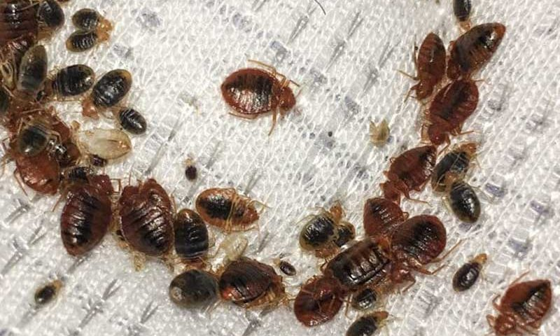 5 Powerful Homemade techniques to Get rid of Bedbugs once