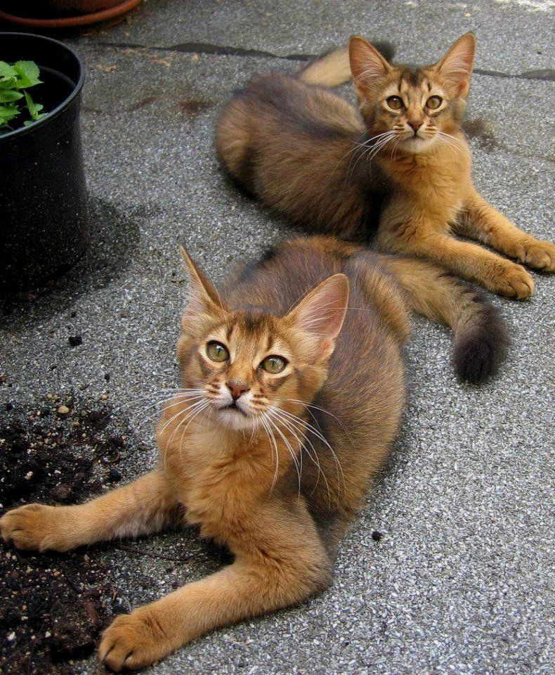 Abyssinian Cat Personality Traits