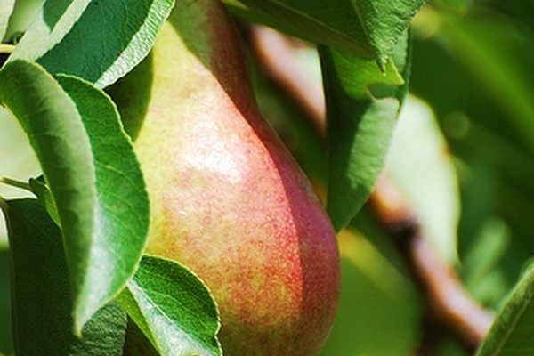 Ayers Pear Tree Information Pear Trees Tree Information Pear