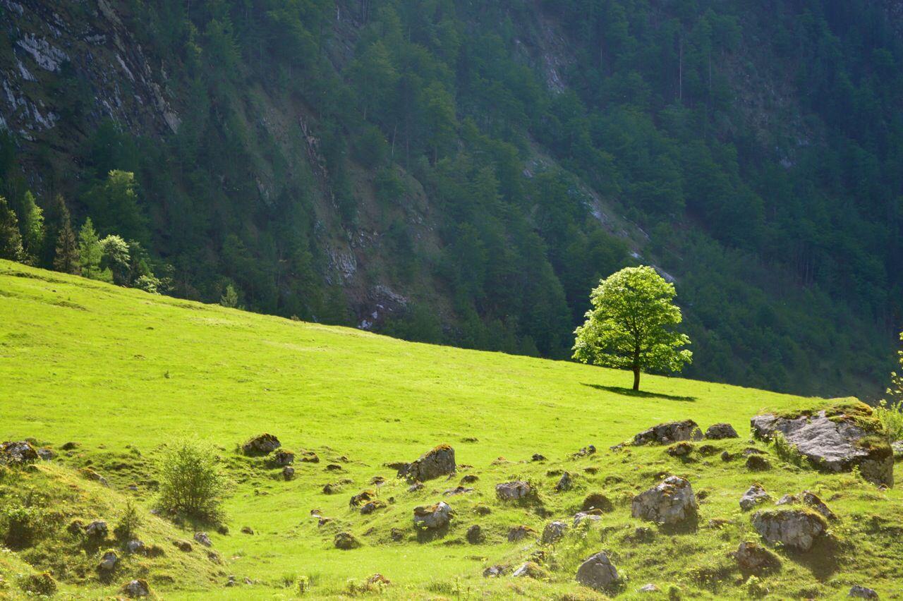 Baum Obersee/Königssee