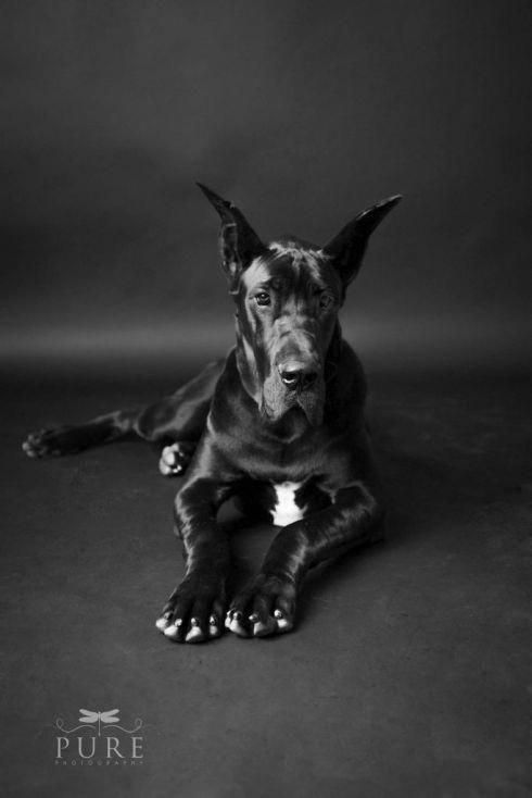 The Great Danes Dogs And Kids Greatdanecrossing