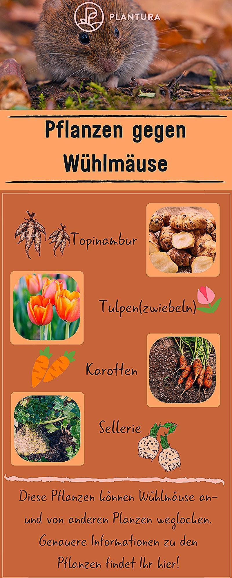 Pflanzen gegen Wühlmäuse: Was hilft wirklich? - Plantura