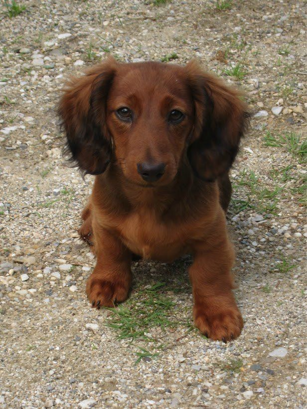 Looks Like My Doxie Except Mine Has A Red Nose And Golden Eyes