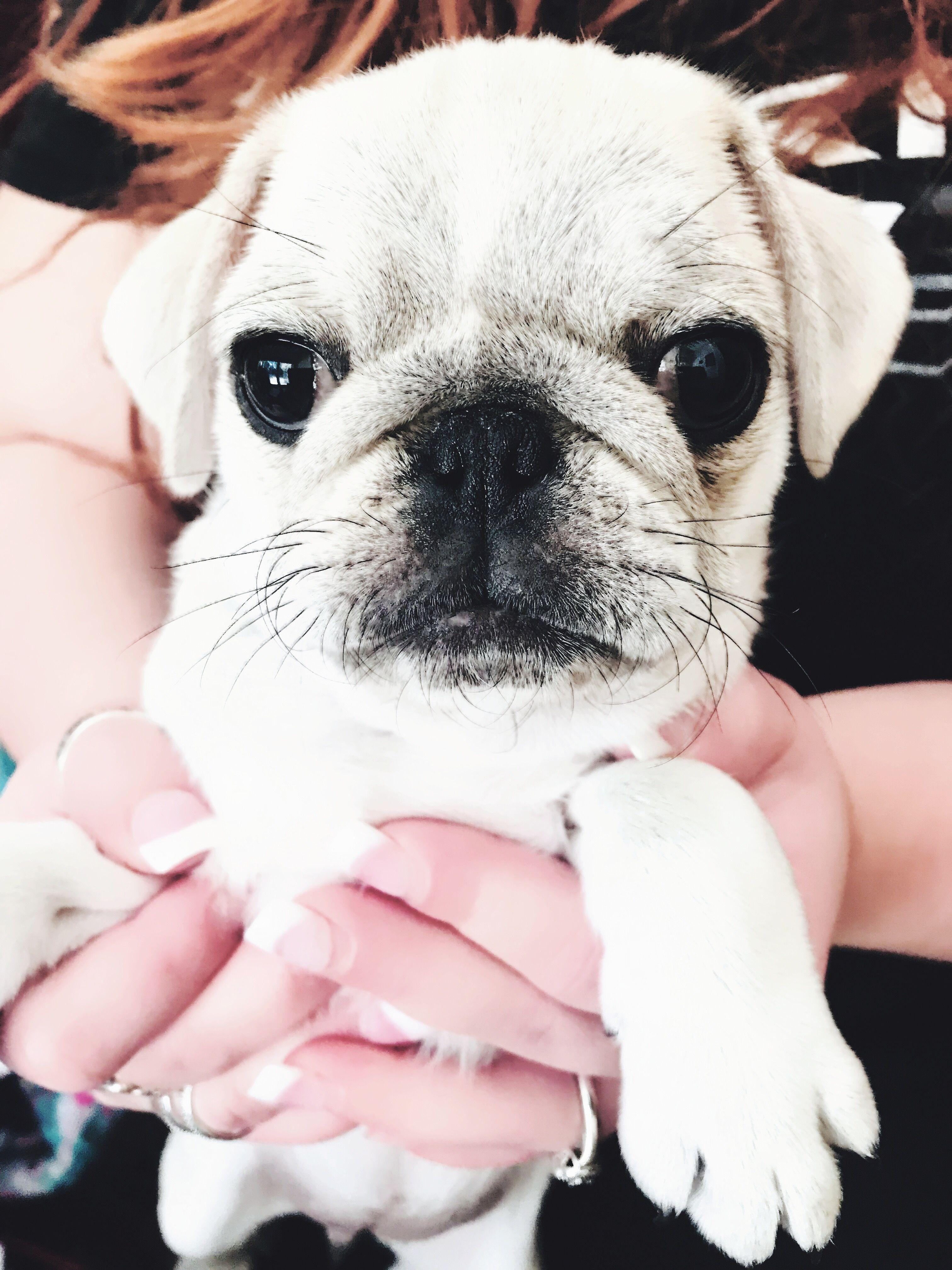 Cookie The White Chinchilla Pug White Pug Pug Love Pugs