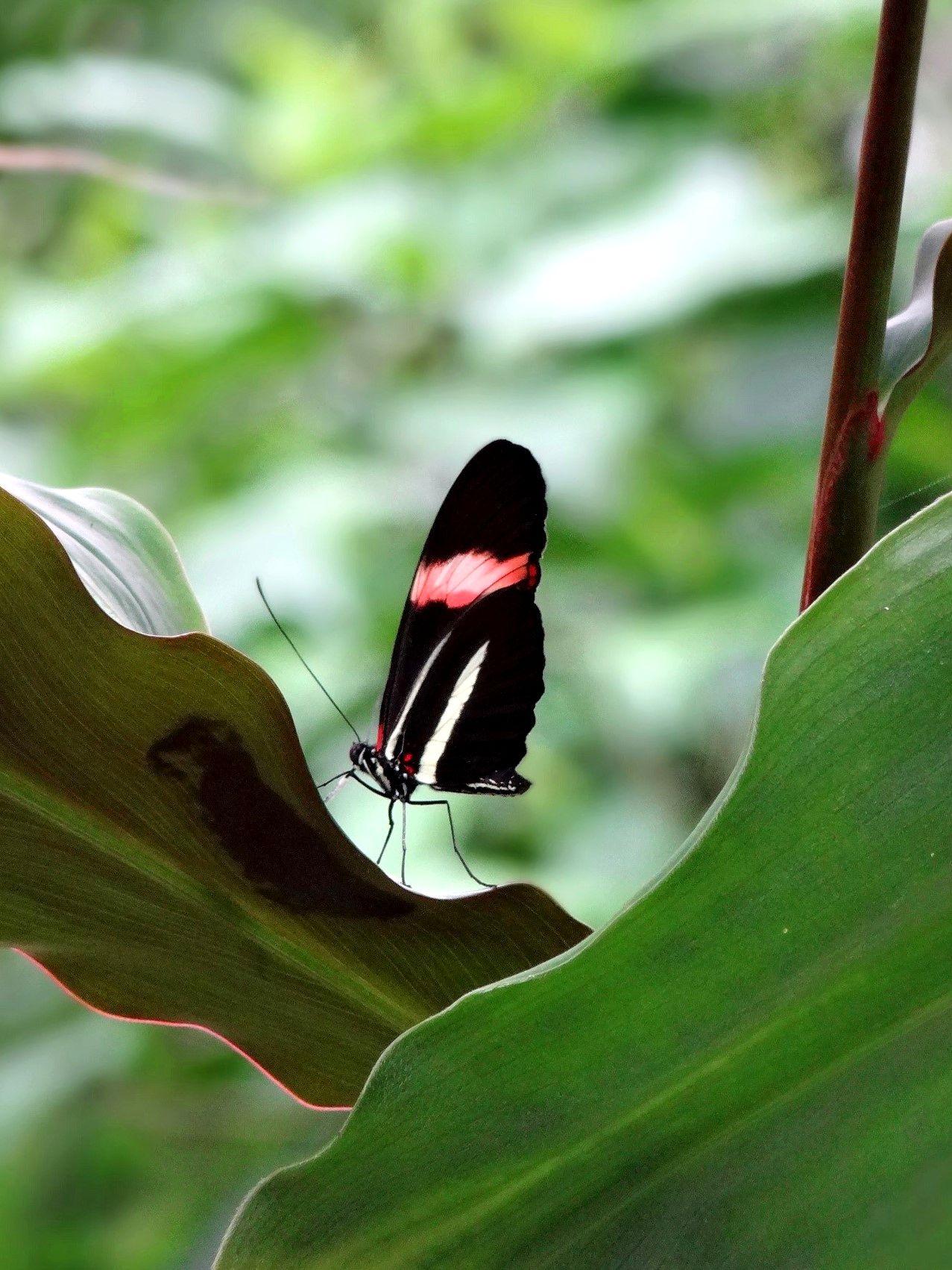 Doris Longwing - The Butterfly Garden, Vannes, France © gt