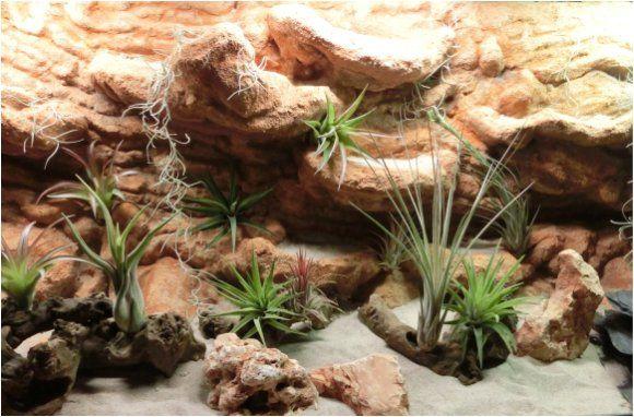 w stenterrarium mit felsen und tillandsien snake pinterest terraria bearded dragon and geckos. Black Bedroom Furniture Sets. Home Design Ideas