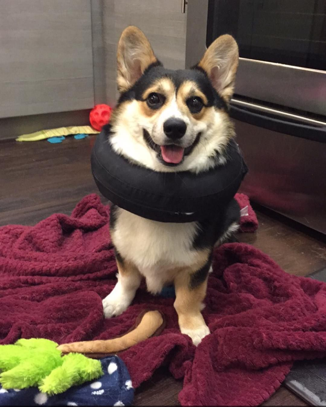 Donut Days Are Almost Over Yippeeeee Corgi Dog Cat Dogs